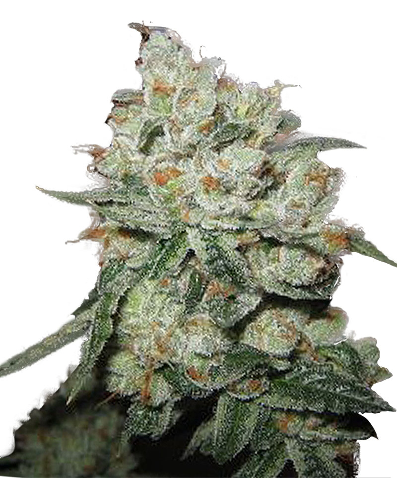 OG Kush Feminised Seeds