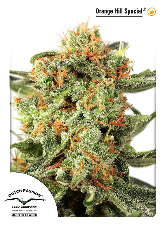 Orange Hill Special Feminised Seeds