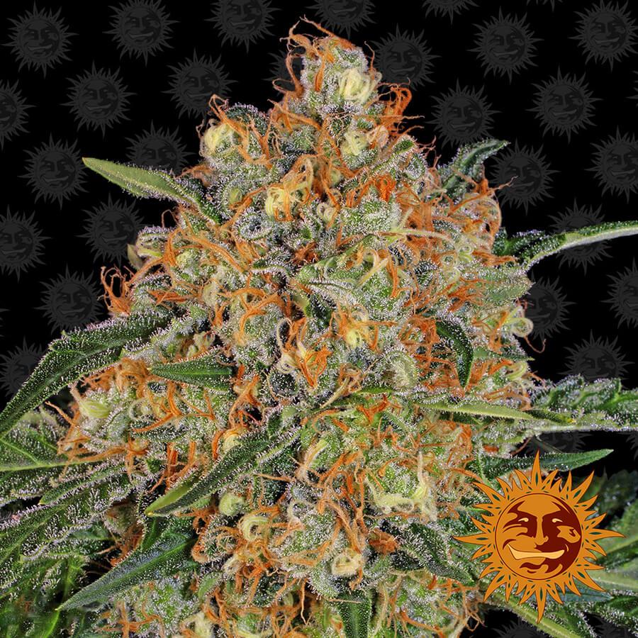 Orange Sherbert Feminised Seeds