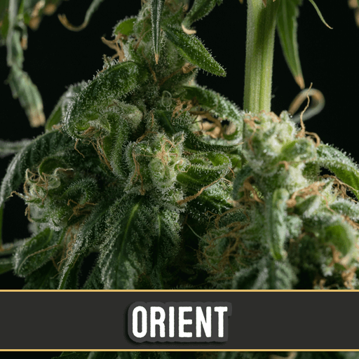 Orient Auto Feminised Seeds