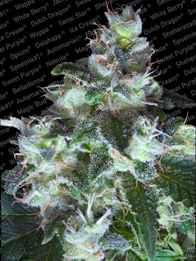 Original White Widow (IBL) Feminised Seeds