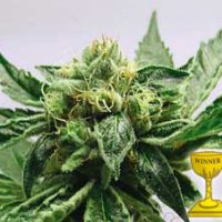 MK Ultra Feminised Seeds
