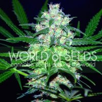 Pakistan Valley Regular Seeds