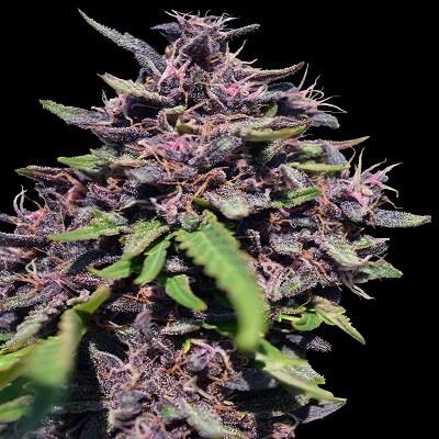 Panama x PCK Feminised Seeds