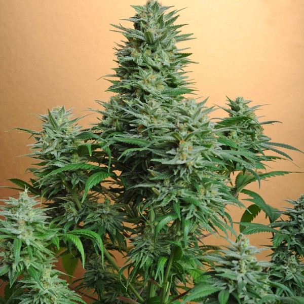 Papaya Feminised Seeds - 5