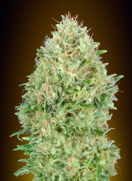 Pineapple Glue Feminised Seeds