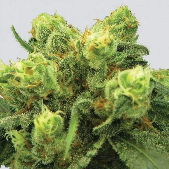 Big Bud Feminised Seeds - 5