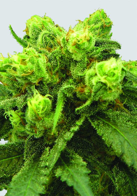 Big Bud Regular Seeds - 10
