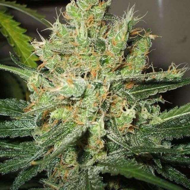 Pure Power Plant Feminised Seeds - 5