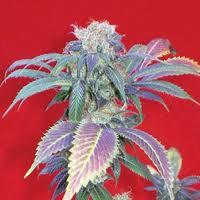 Purple Haze # 1 Feminised Seeds
