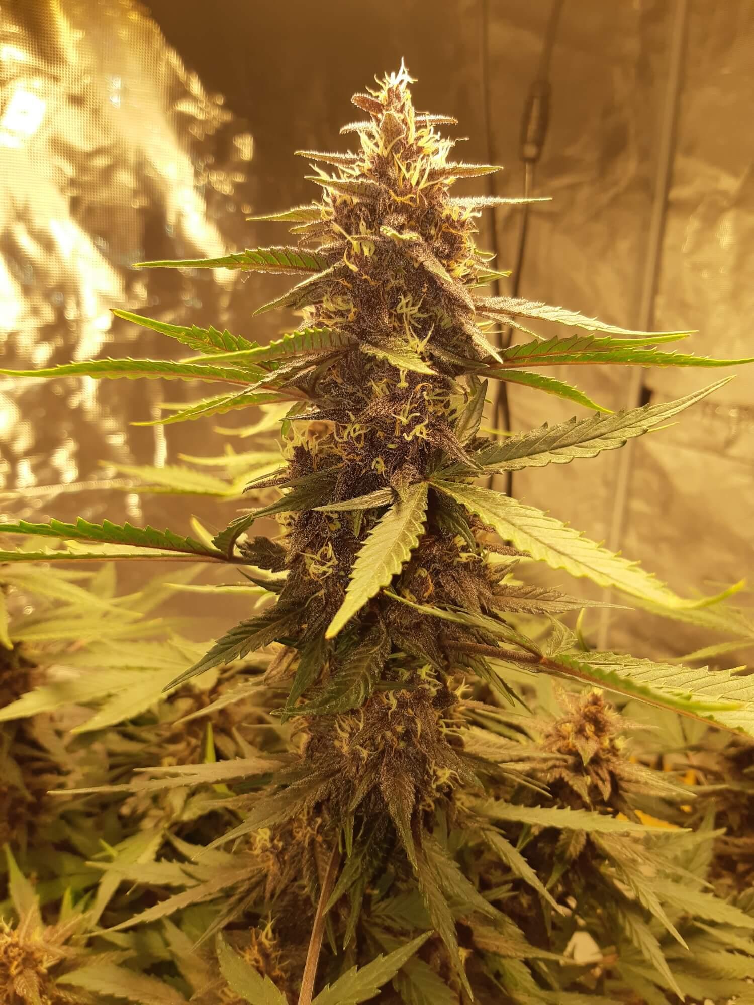 Purple Kush CBD 1:1 Auto Feminised Seeds