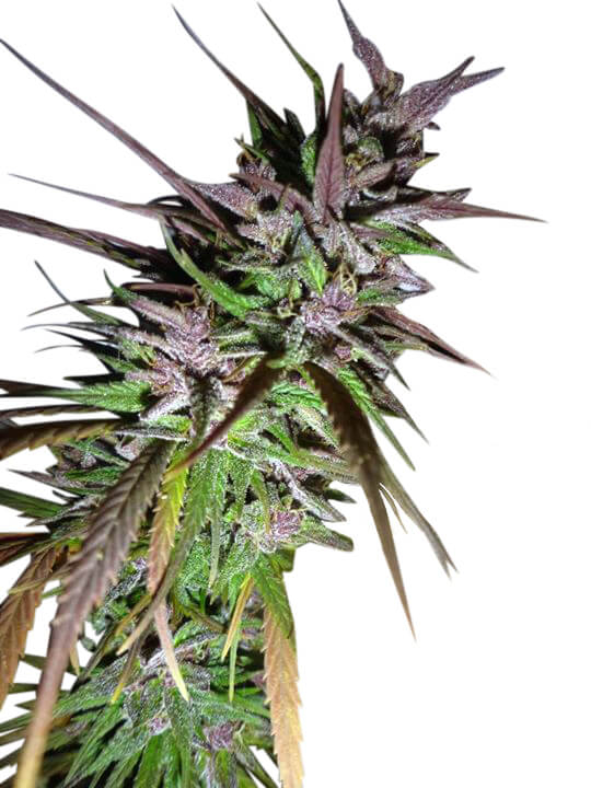 Purple Pakistani Haze Feminised Seeds (Limited Edition) - 5