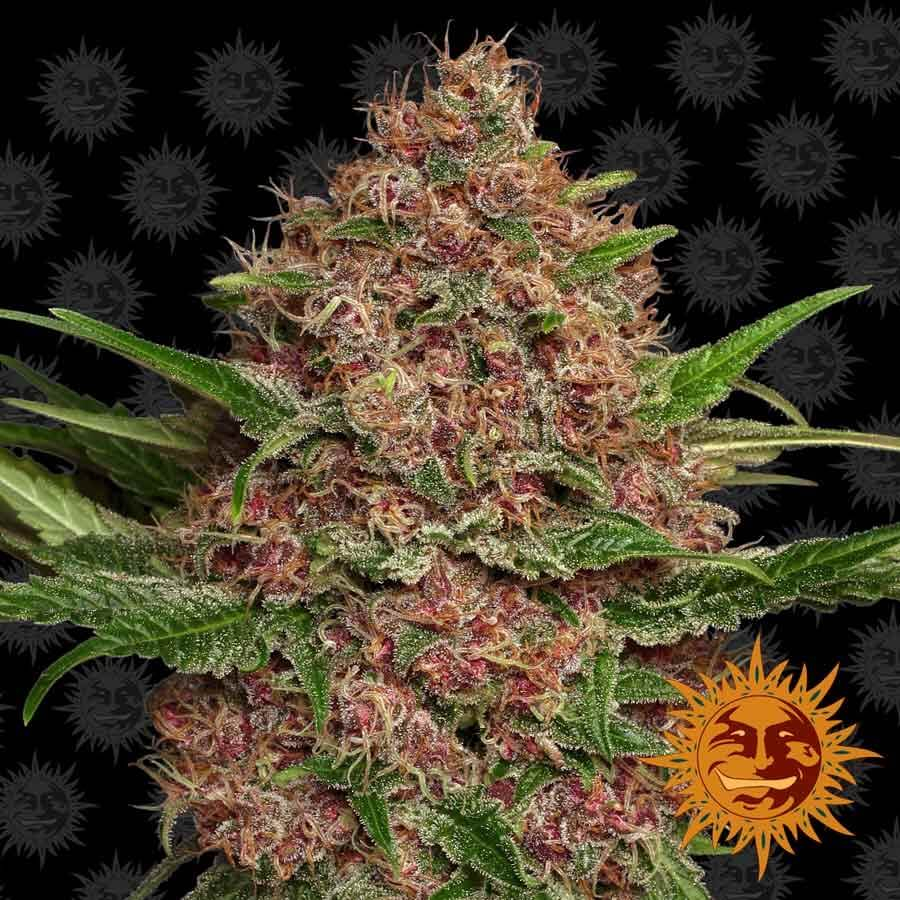 Purple Punch Auto Feminised Seeds
