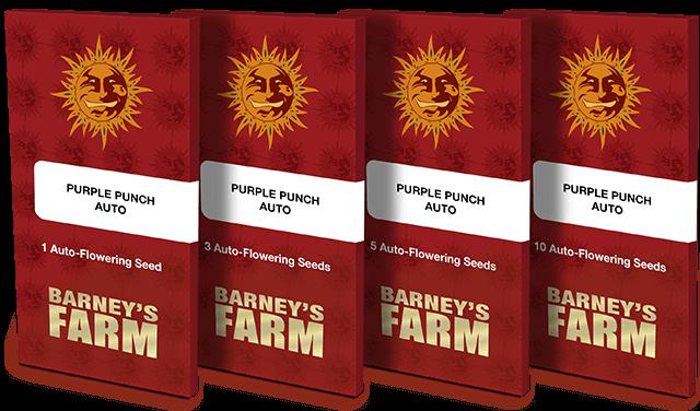 Purple Punch Auto Feminised Seeds