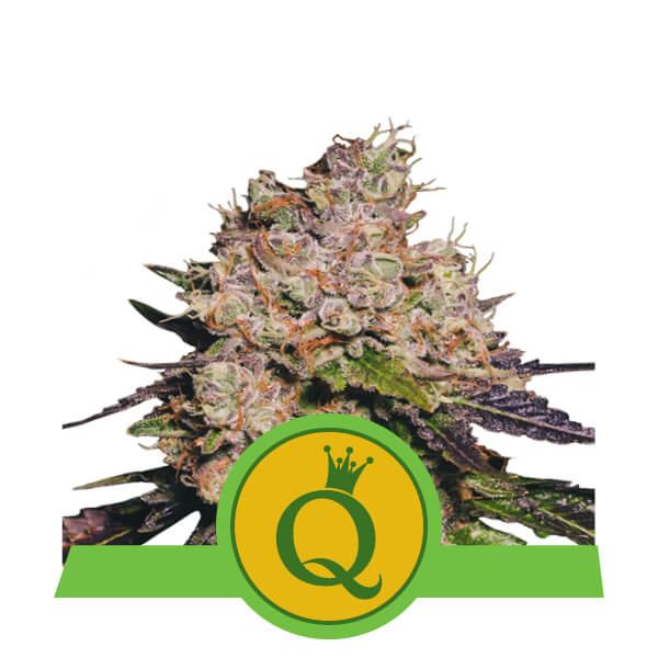 Purple Queen Auto Feminised Seeds