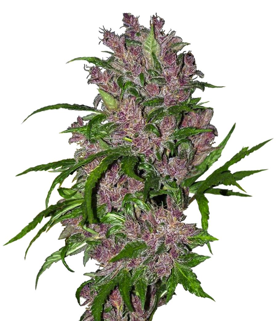 Purple Bud Auto Feminised Seeds