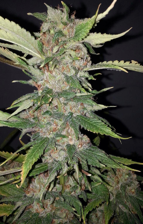 Purple Crack Feminised Seeds - 6