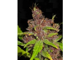 Purple Mazar Autoflowering Feminised Seeds - 3