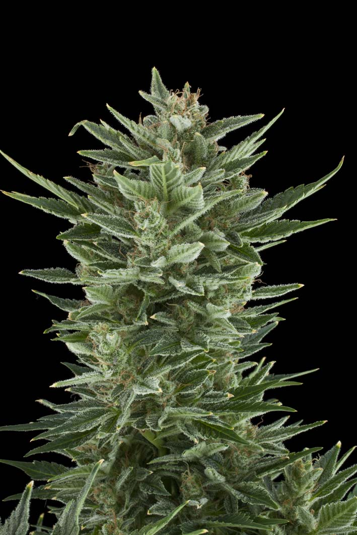 Quick One Auto Feminised Seeds