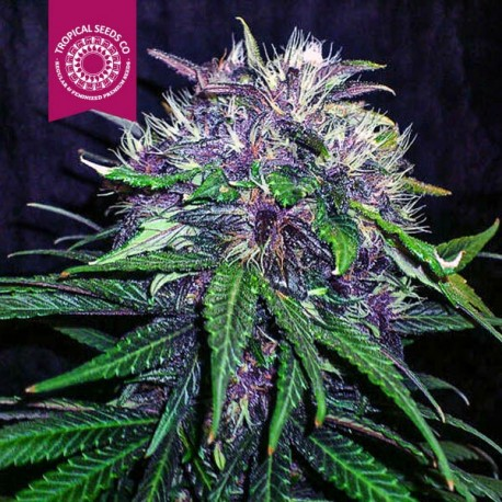 Red Afro Feminised Seeds