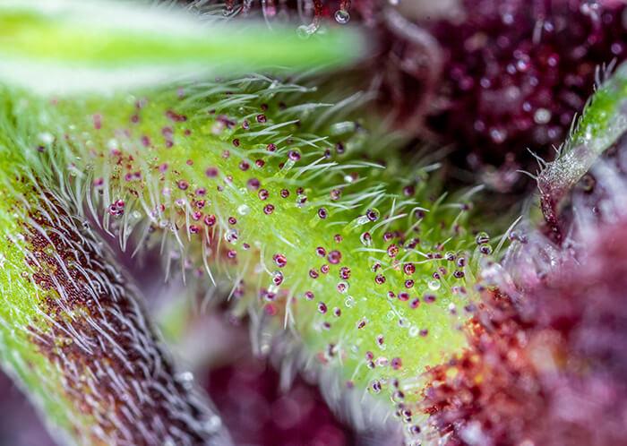 Red Pure CBD Auto Feminised Seeds