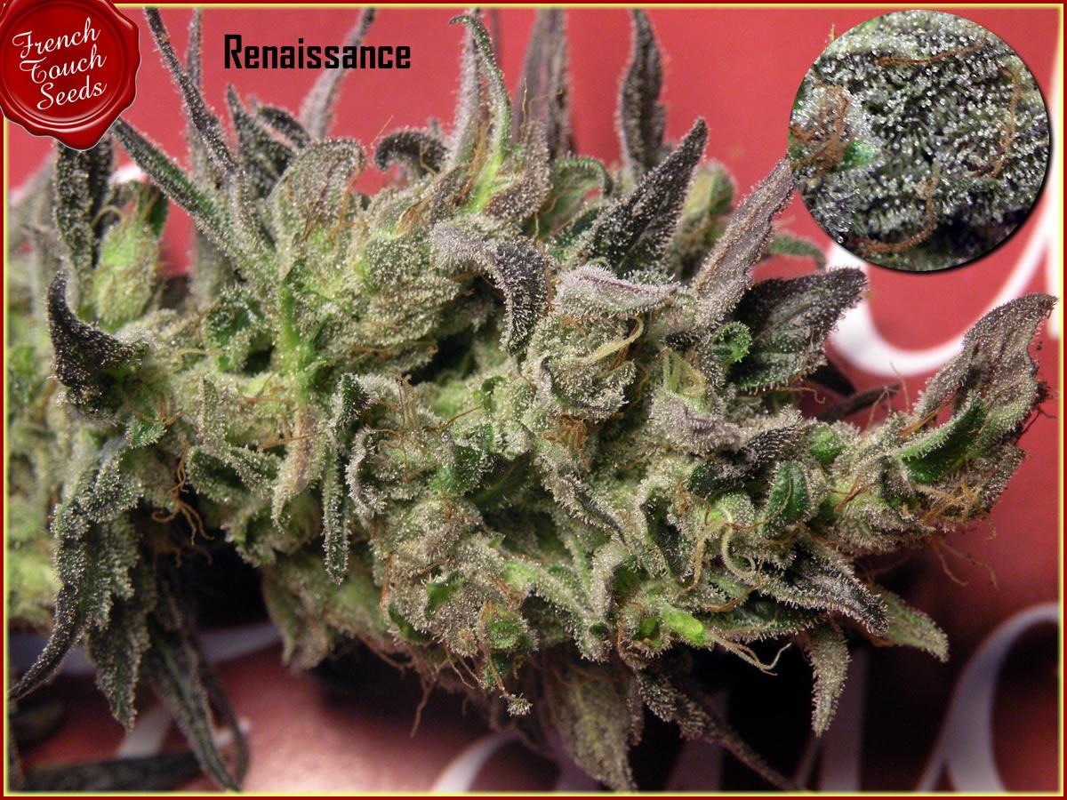 Renaissance CBD Regular Seeds