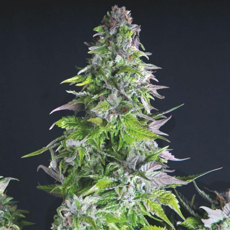 Romulan Feminised Seeds
