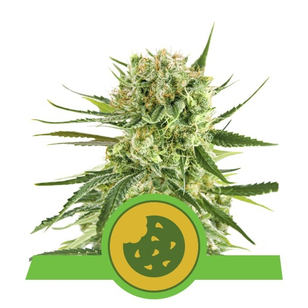 Royal Cookies Auto Feminised Seeds