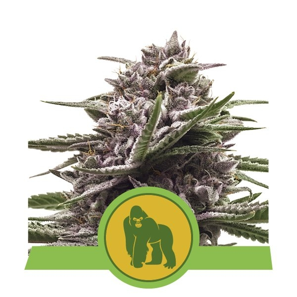 Royal Gorilla Auto Feminised Seeds