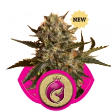 Mother Gorilla (formerly Royal Madre) Feminised Seeds