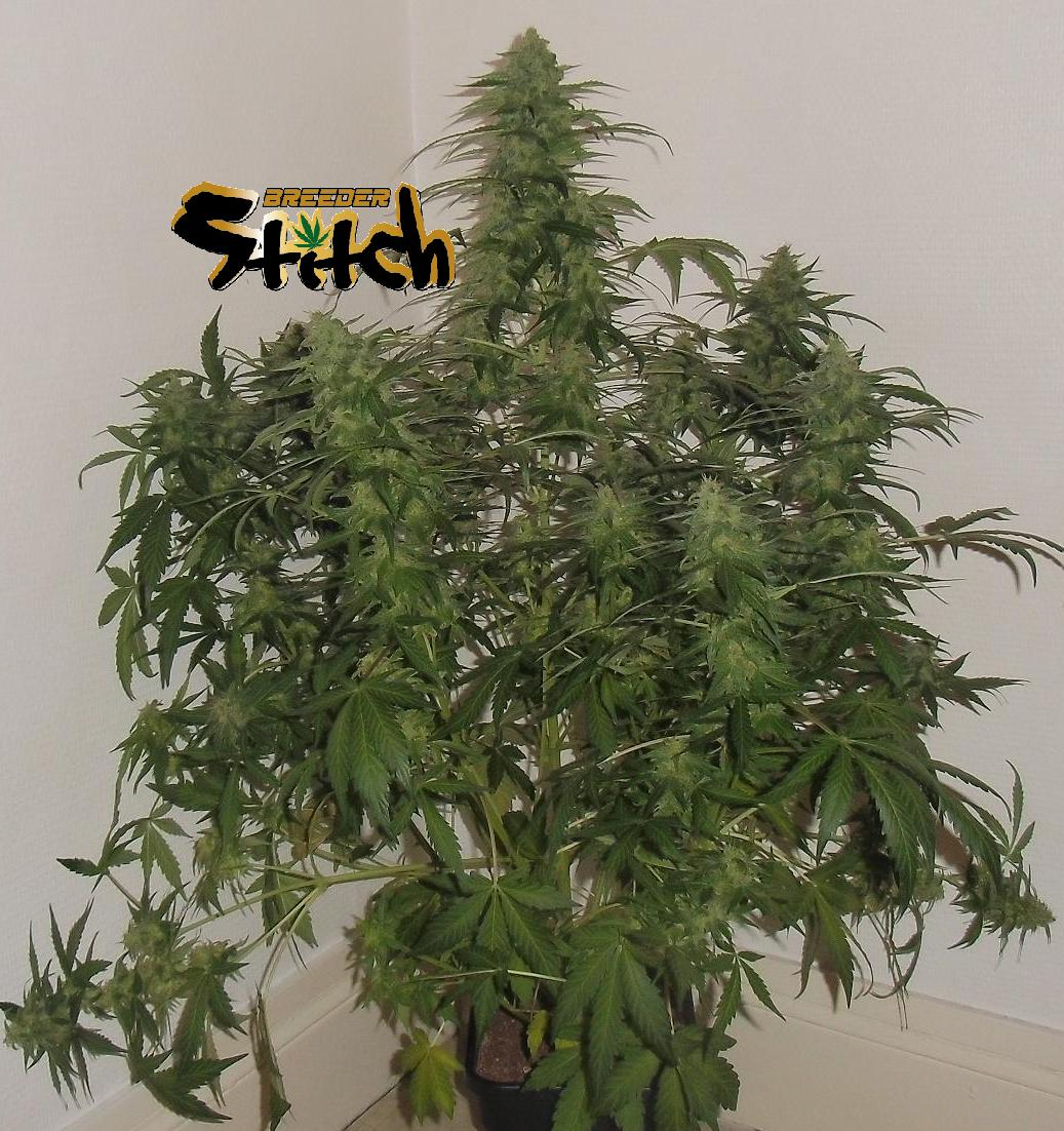 Russian Fuel Autoflowering Feminised Seeds - 3