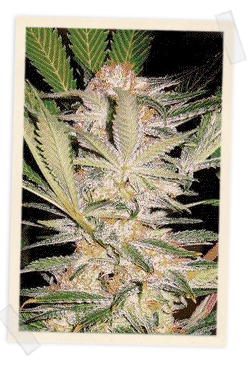 S.A.D. FAST Version Feminised Seeds