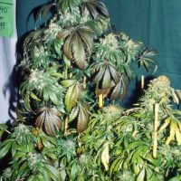 S.A.G.E Feminised Seeds
