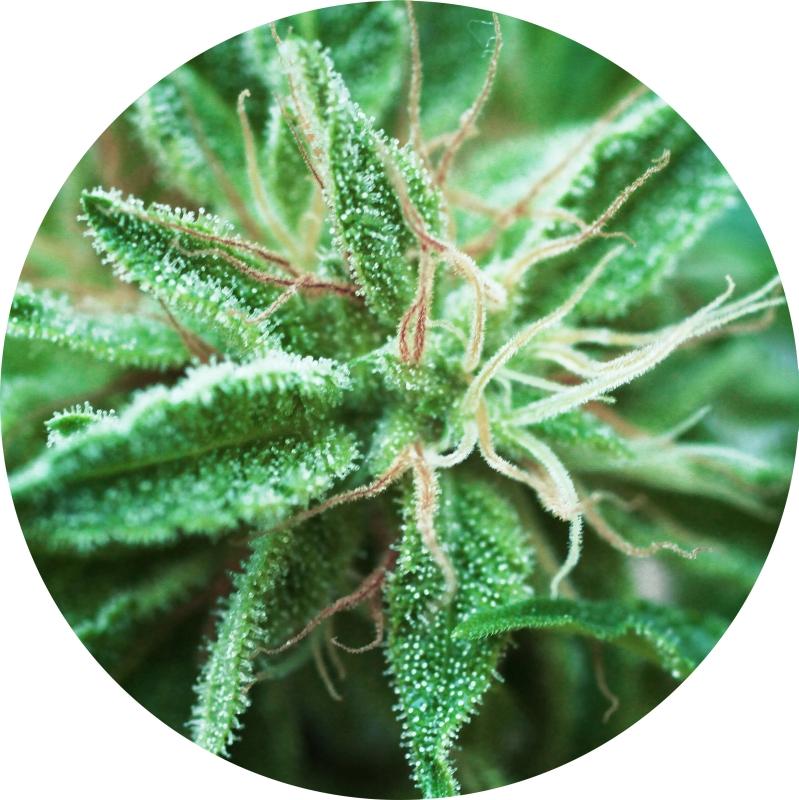 Sativa Samadhi Regular Seeds - 10