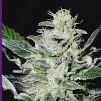 Sensi Star Feminised Seeds