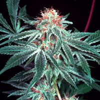Shark Shock Regular Seeds - 18