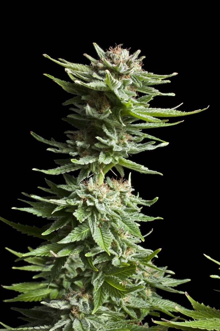 Shining Silver Haze Feminised Seeds