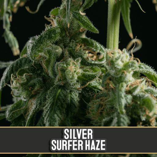 Silver Surfer Haze Feminised Seeds