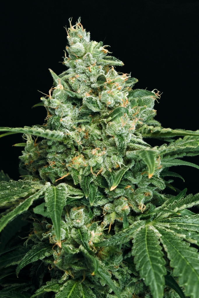 Sir Jack Feminised Seeds