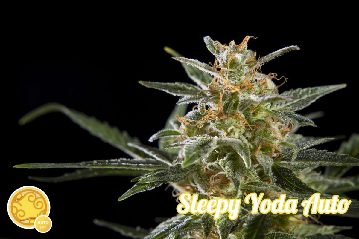 Sleepy Yoda Auto Feminised Seeds