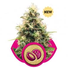 Somango XL Feminised Seeds