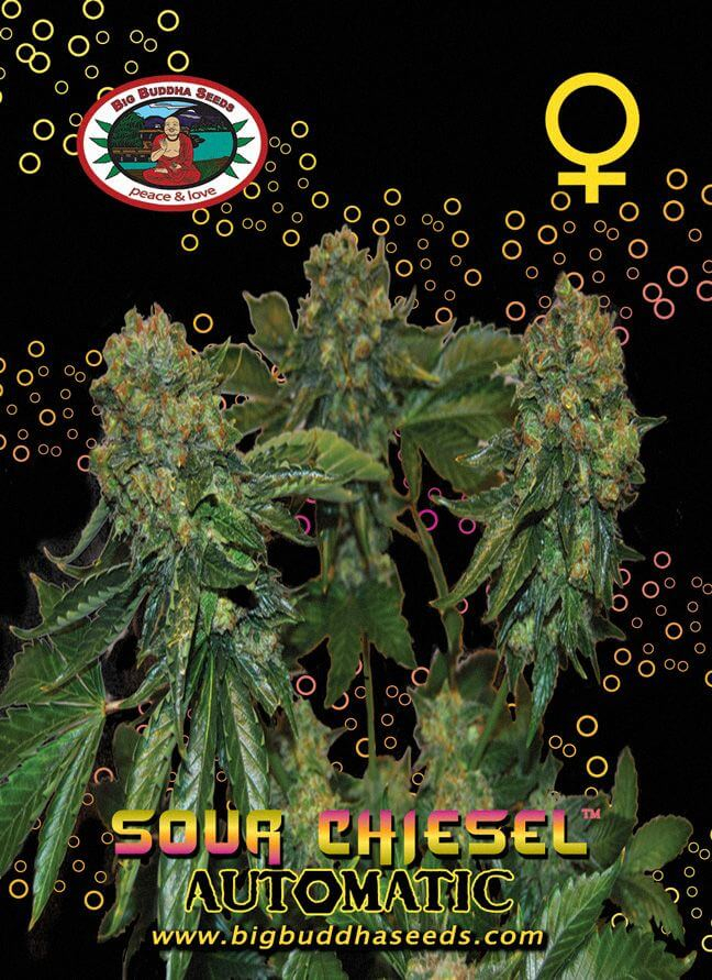 Sour Chiesel Auto Feminised Seeds