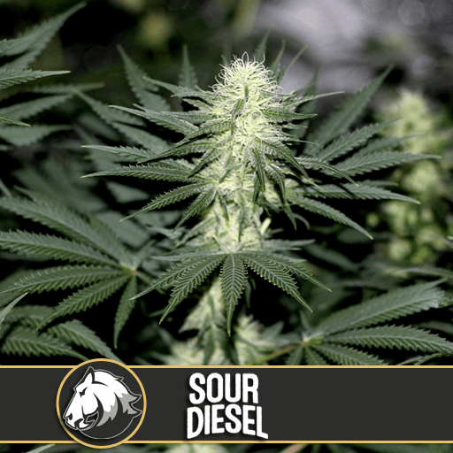Sour Diesel Feminised Seeds