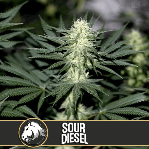 Sour Diesel Feminised Seeds