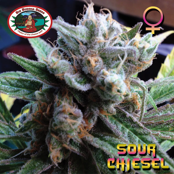 Sour Chiesel Feminised Seeds