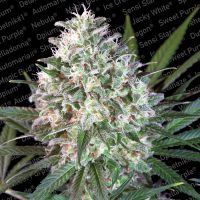 Space Cookies Feminised Seeds