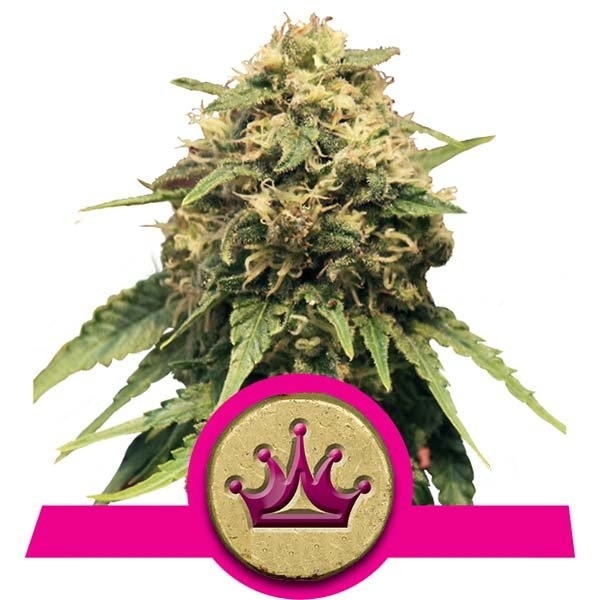 Special Queen #1 Feminised Seeds