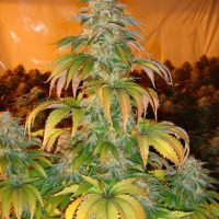 Spoetnik #1 Feminised Seeds