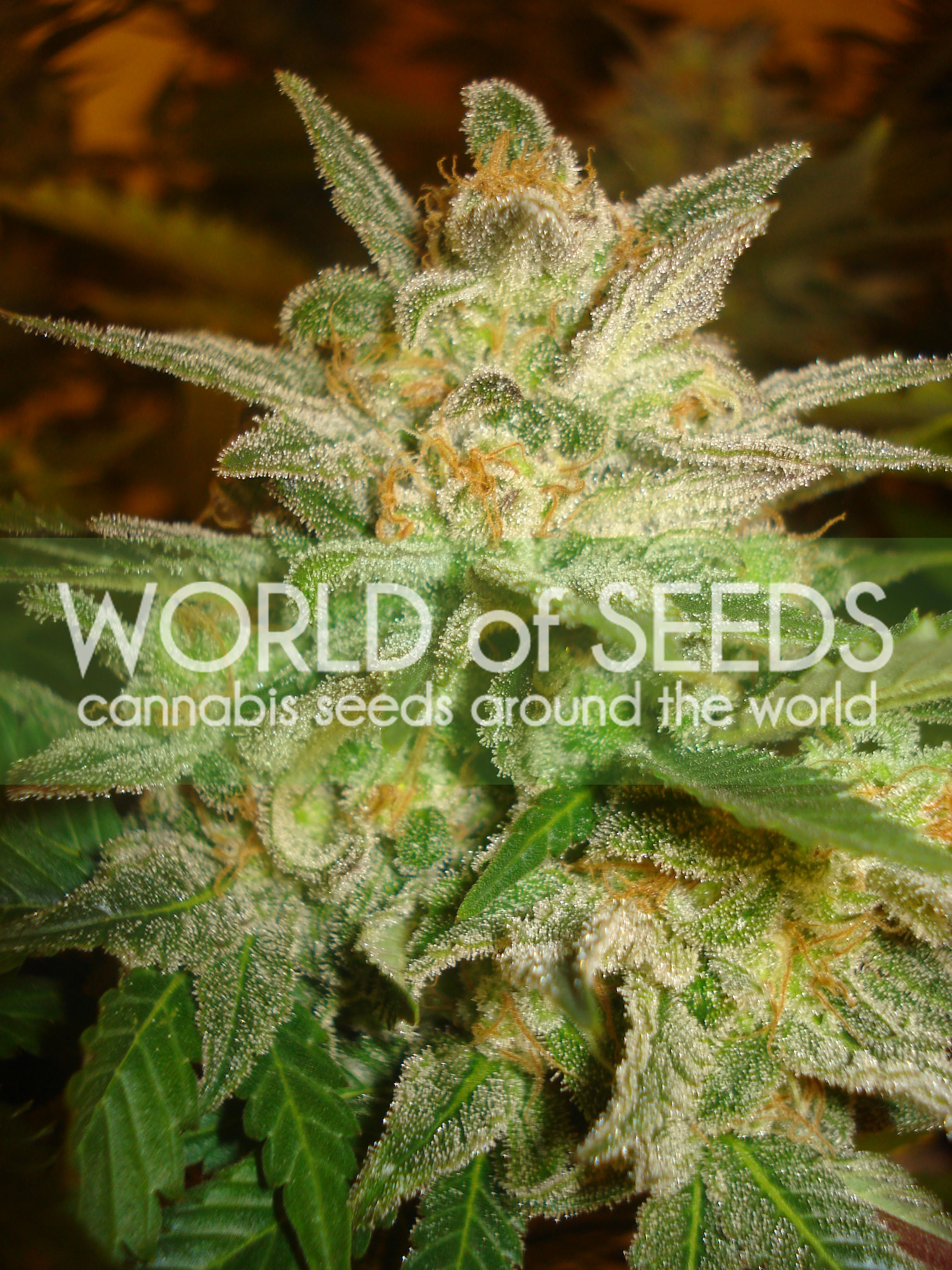 Star 47 Feminised Seeds