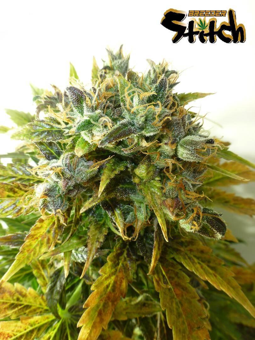 Stardust Autoflowering Feminised Seeds - 3
